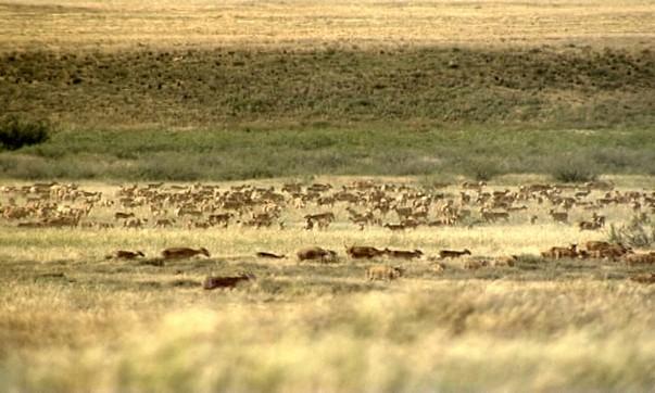 МСХ РК: Эпидемия из Монголии не грозит Казахстану