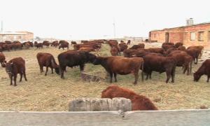 Миллион животных на домашних подворьях вакцинируют в Атырауской области