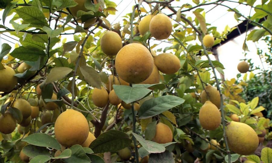 В ЮКО лимонный бизнес набирает обороты