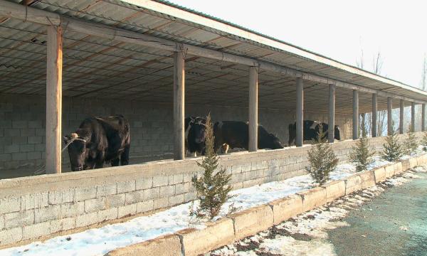 Экспортировать около 75 тысяч тонн мяса в год намерены фермеры Толебийского района ЮКО