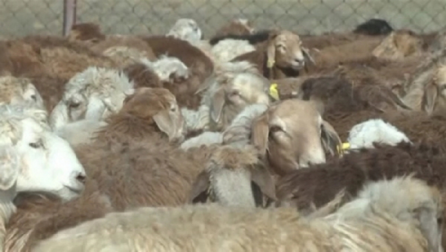 Актюбинская область начала экспортировать овец в ОАЭ