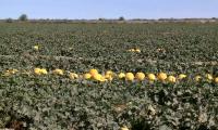 Сыр диқандары 5 мың тонна қауын-қарбыз экспорттады