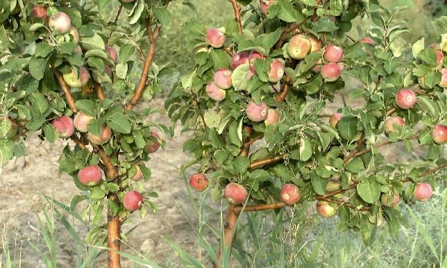 В Атырауской области на солончаках вырастили яблоневый сад
