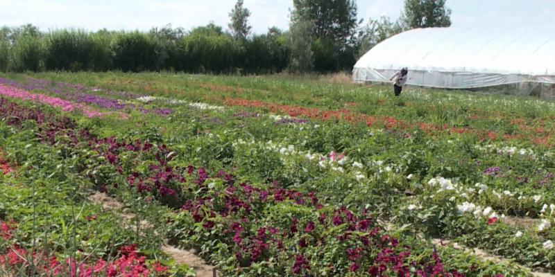 Оңтүстікқазақстандық фермер Астананың туған күніне 90 мың тал гүл тарту етпек