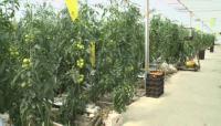 Атырау облысының Жылыой ауданында аумағы 2 гектар болатын жылыжай ашылды