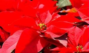В Мексике к Рождеству выращивают 16 миллионов пуансеттий