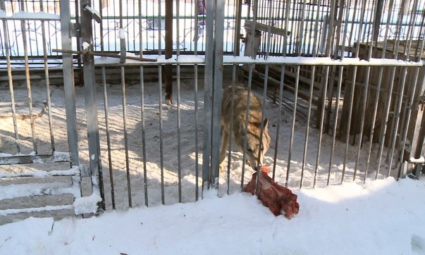 Отсутствие кормовой базы вынуждает волков заходить в поселки