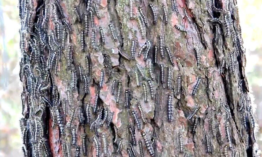 Сосновый шелкопряд повредил 340 гектаров леса в Костанайской области