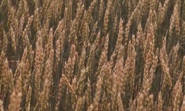 Ученые Казахстана вывели новый сорт пшеницы